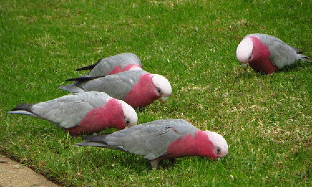 Wagga Wagga Botanic Gardens (8) – galahs