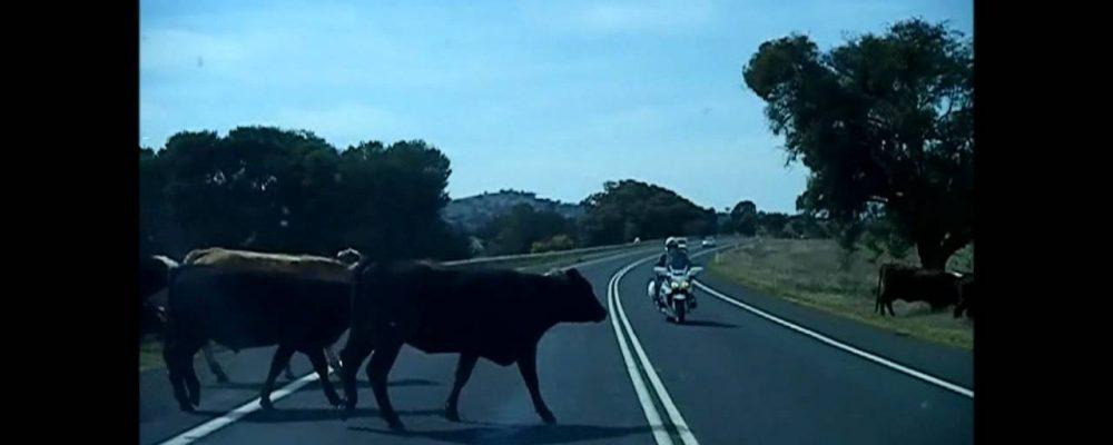 Cows on the road in Wagga Wagga