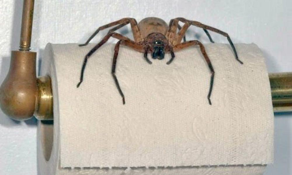 BACKPACKER WARNING! GIANT AUSTRALIAN SPIDERS!!