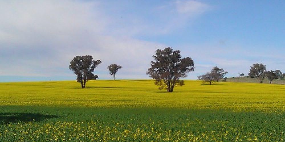 The beautiful, golden Canola fields near Wagga Wagga, NSW